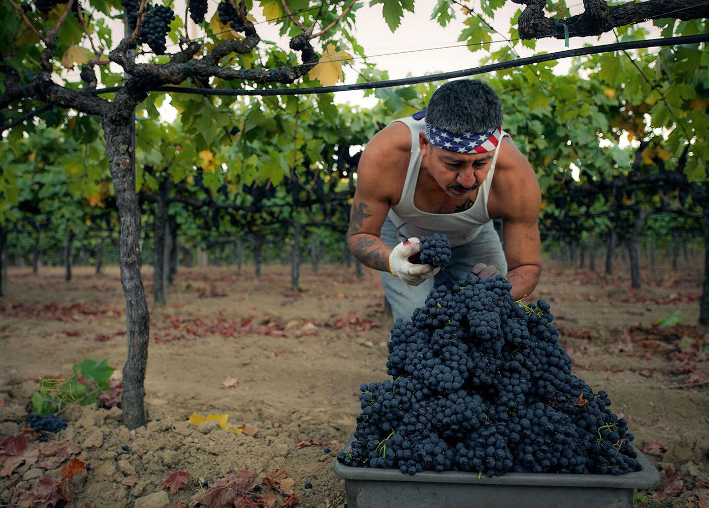 Frog's Leap - Martin Corro, Garden Zinfandel Vineyard - September 2014