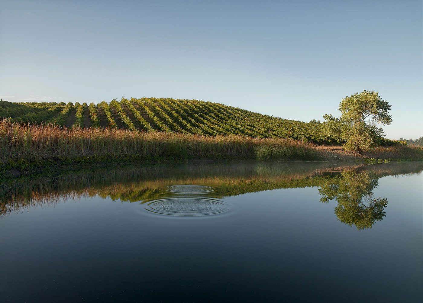 Frog's Leap - Morning, Truchard Vineyard, Carneros - August 2012